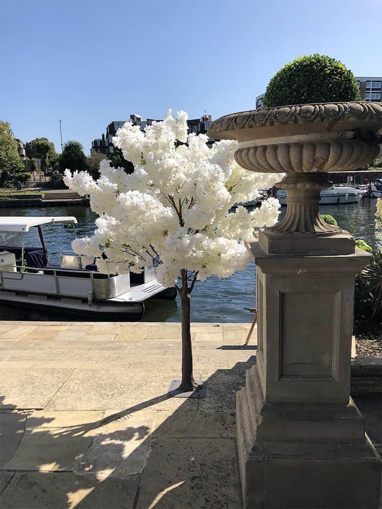 White cherry blossom tree hire